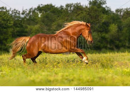 Red horse run gallop in spring  field