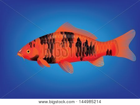 Vector illustration of koi carp breed Bekko