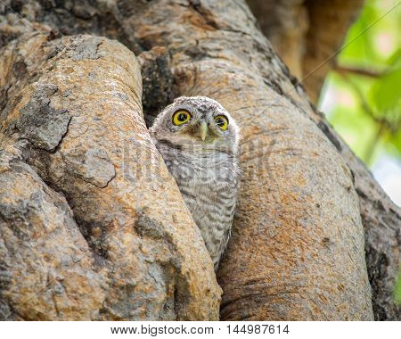 Close up Little Owls in a hollow tree