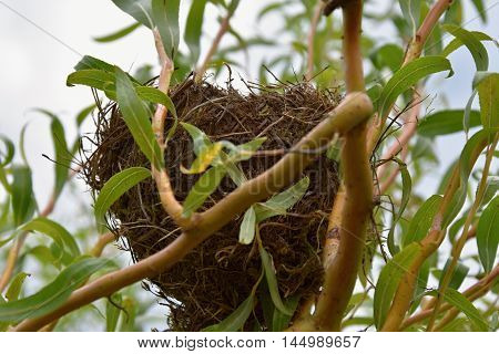 Birds nest of twisted willow. Birds nest.