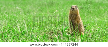 Gopher standing and starring on the meadow