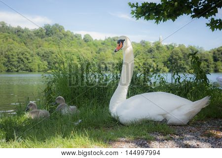 Two young swan near their mother on the river bank