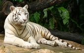 foto of white-tiger  - a white tiger from singapore zoo - JPG