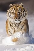 Постер, плакат: Amur Tiger Is Moving For Attacking