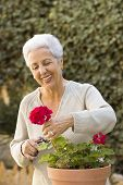 image of old lady  - happy senior lady pruning her plants in her garden - JPG
