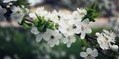 Blossoming Cherry Flowers In Spring. Aged Photo. poster