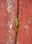 Grasshopper On Red Barn Wood
