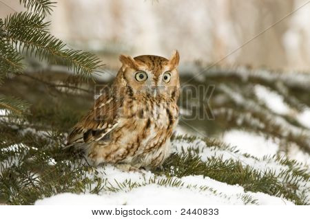 Bird-Owl