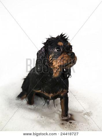Marmaduke black and tan cachorro de rey Charles Cavalier toma un baño.