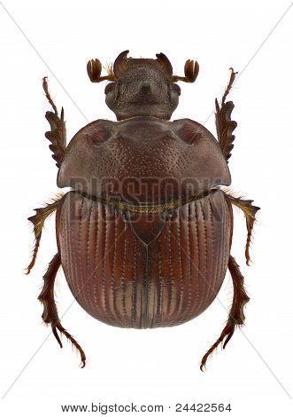 Bolbelasmus Unicornis