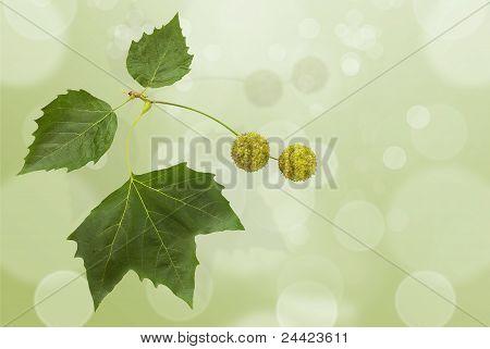 Platan Leaf