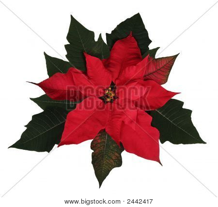 Beautiful Red Christmas Poinsettia