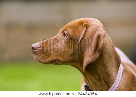 Vizsla Dog Head