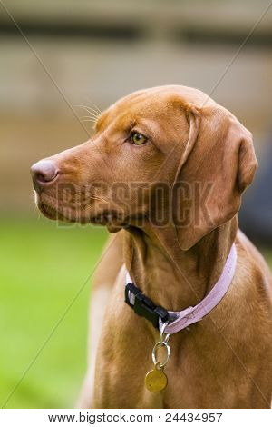 Vertical Shot Of Hungarian Vizsla Dog