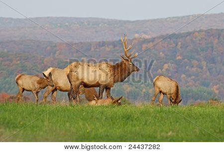 Elk in Morning Sunlight
