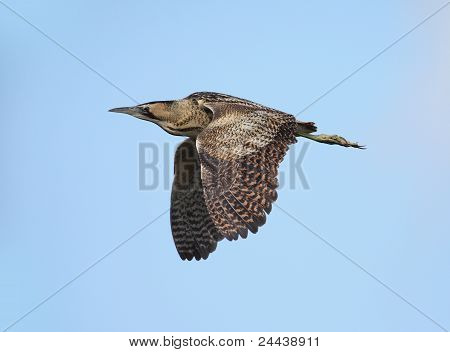 bird Botaurus stellaris or Eurasian Bittern in flight