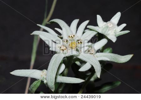 white edelweiss
