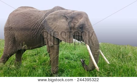 Asian Elephants Are The Largest