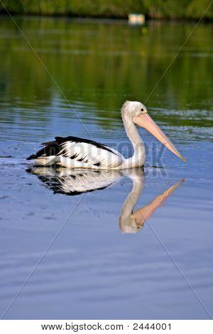 Pelican..