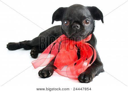 Black little puppy