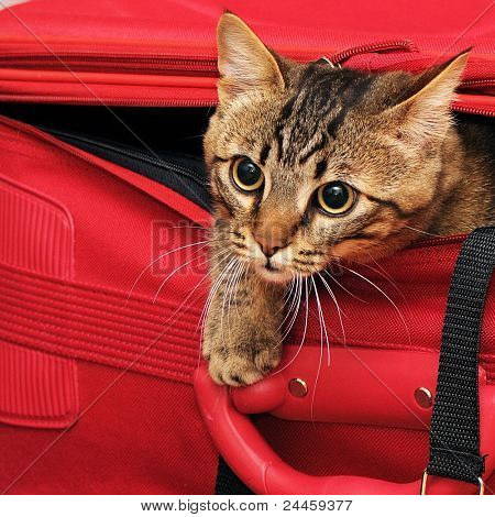 kitten in a suitcase