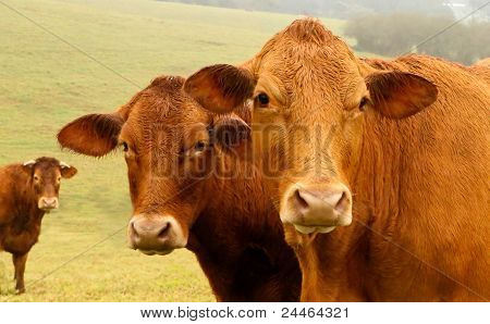 Three Brown Cows