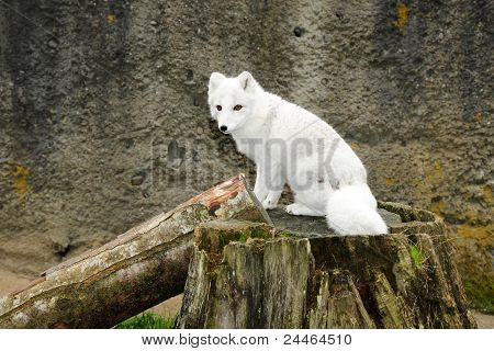 White Arctic Fox