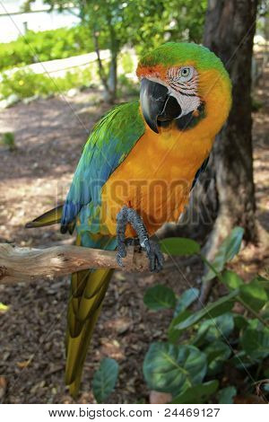 Hybrid Macaw Full Length
