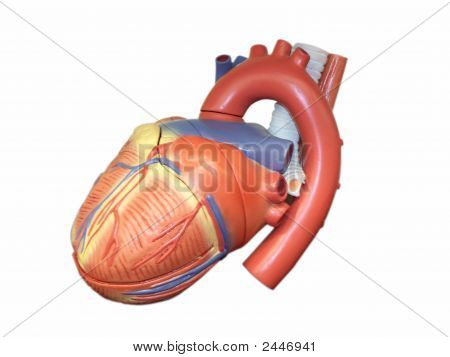 Anatomic Model Of The Human Heart
