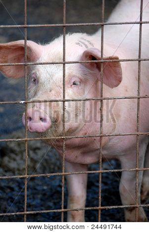 Caged pig