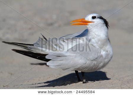Endangered Royal Tern (sterna Maxima)