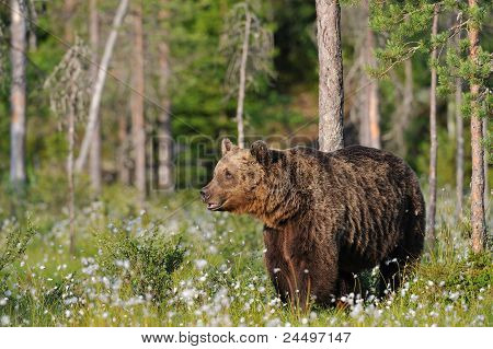 Big Male Bear