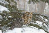 picture of screech-owl  - Screech owls in winter - JPG