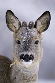 pic of roebuck  - Roebuck with natural sigar in its mouth in winter - JPG