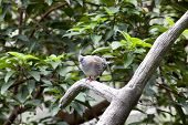 picture of java sparrow  - Nicobar Pigeon  - JPG