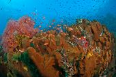 picture of raja  - Flame fairy basslet fish in a general reef scene Raja Ampat Indonesia  - JPG