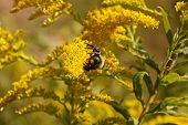 stock photo of ragweed  - A bumblebee working pollen on a yellow bloom - JPG
