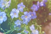 Blooming Blue Flax. Blooming Blue Flax With Delicate, Airy Flowers Heavenly Color poster