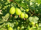 Bush Of Green Gooseberry With Unripe Berries. Sour Green Gooseberries. Young Beautiful Bush Of Goose poster