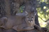 picture of mountain lion  - a mountain lion sits in a tree - JPG