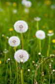 Beautiful Ripe Fluffy White Dandelions Close-up. Botany. poster