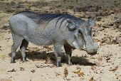 pic of quadruped  - Warthog Phacochoerus africanus animal quadruped mammal danger - JPG