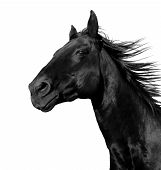 foto of wild horse running  - beautiful black stallion running in a corral: isolated on a white background