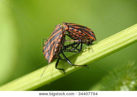 Copulating Shield Bugs