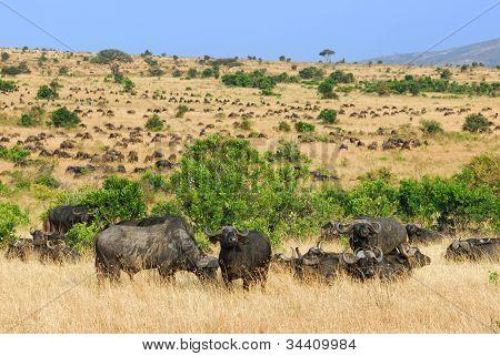 Cape African Buffalo