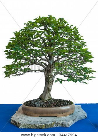 Old Plant Hornbeam With Foliage As A Bonsai Tree
