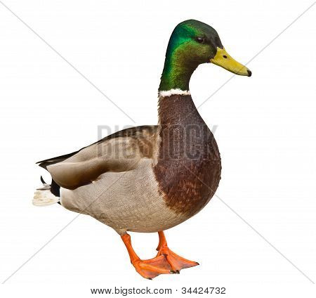 Mallard Duck Isolated