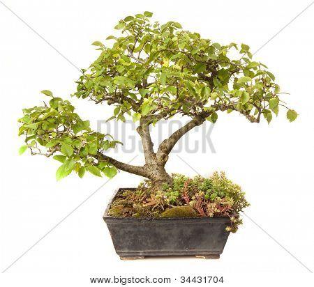 Ulmus campestris bonsai isolated on white