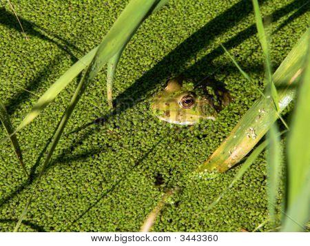 Frog In Green Duckweed