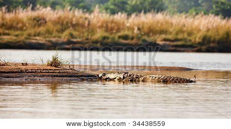 Crocodile In Narayani-rapti River In Chitwan National Park